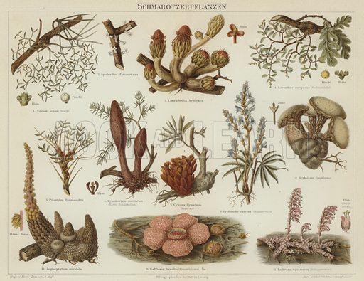Parasitic plants. Illustration from Meyer's Konversations-Lexicon, c1895.