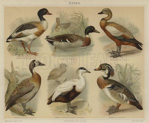 Ducks. Illustration from Meyer's Konversations-Lexicon, c1895.
