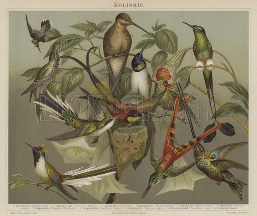 Hummingbirds. Illustration from Meyer's Konversations-Lexicon, c1895.