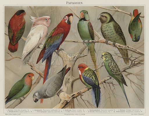 Parrots. Illustration from Meyer's Konversations-Lexicon, c1895.