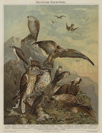 German birds of prey. Illustration from Meyer's Konversations-Lexicon, c1895.