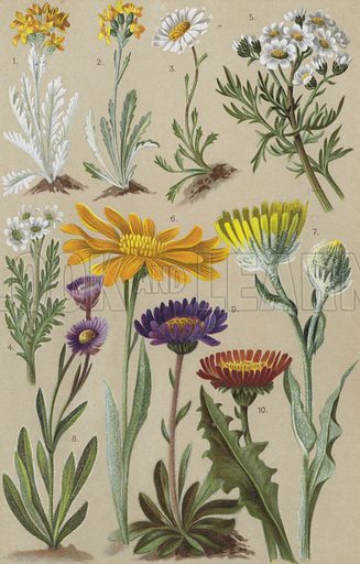 Alpine flora. Illustration for the Coloured Vade-Mecum to the Alpine Flora by L & C Schroter (Albert Raustein, c 1900).