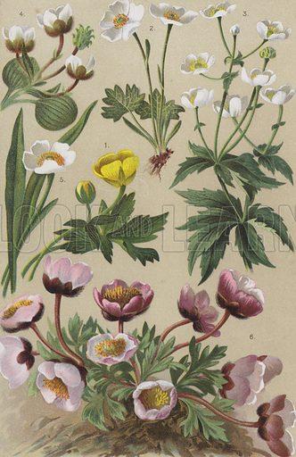 Alpine flora. Illustration for the Coloured Vade-Mecum to the Alpine Flora by L & C Schroter (Albert Raustein, c 1900).