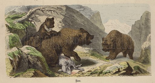 Bear. Illustration for Animal Life in Europe illustrated with coloured plates by F Specht (Religious Tract Society, c 1890).