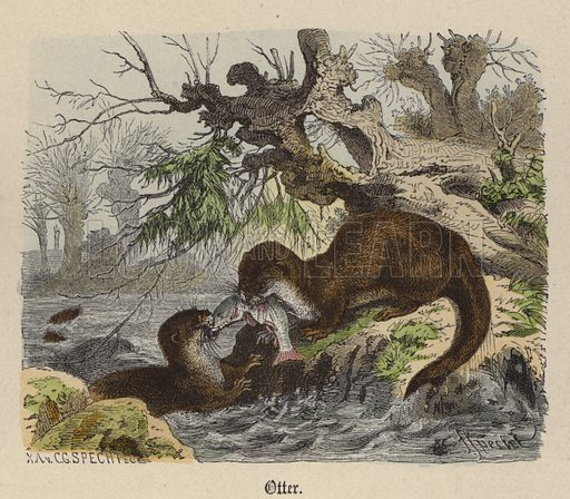 Otter. Illustration for Animal Life in Europe illustrated with coloured plates by F Specht (Religious Tract Society, c 1890).