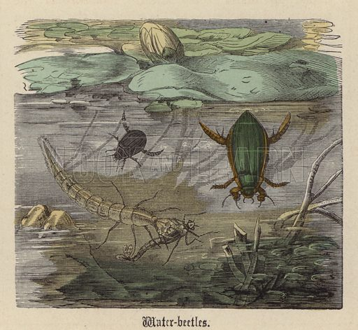Water-beetles. Illustration for Animal Life in Europe illustrated with coloured plates by F Specht (Religious Tract Society, c 1890).