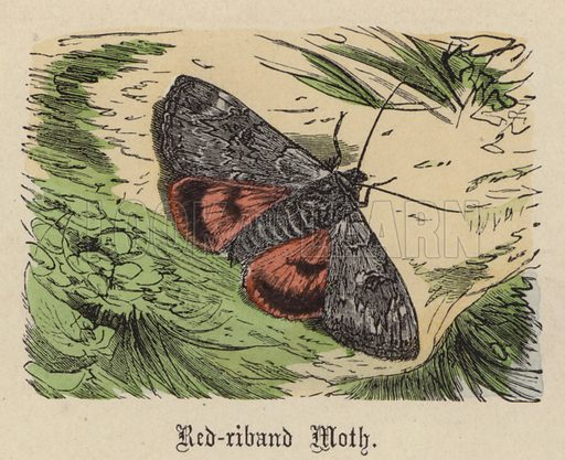 Red-riband Moth. Illustration for Animal Life in Europe illustrated with coloured plates by F Specht (Religious Tract Society, c 1890).