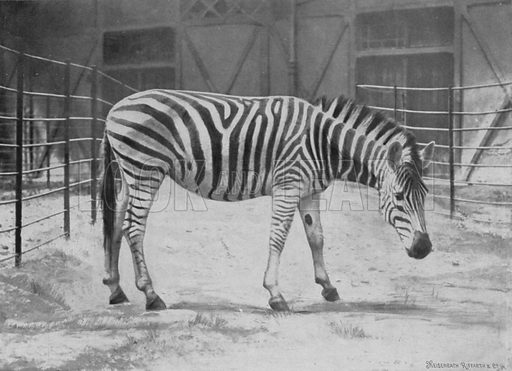 Chapman's zebra, Equus chapmanni Pocock. Illustration for Living Pictures of the Animal World with an introduction by Alfred H Miles (Werner, c 1895).
