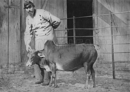 A dwarf zebu steer. Illustration for Living Pictures of the Animal World with an introduction by Alfred H Miles (Werner, c 1895).