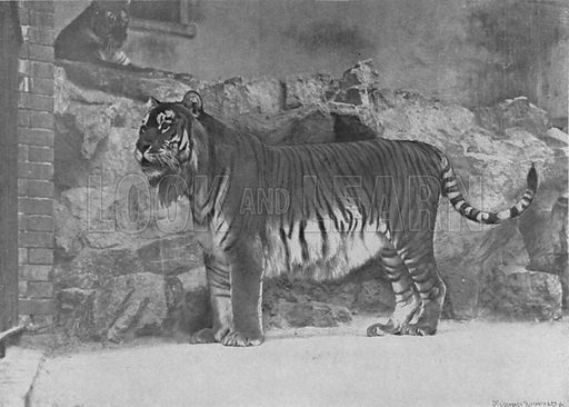 A Persian tiger. Illustration for Living Pictures of the Animal World with an introduction by Alfred H Miles (Werner, c 1895).