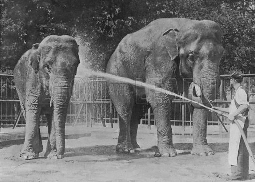 Indian elephants, Elephas indicus. Illustration for Living Pictures of the Animal World with an introduction by Alfred H Miles (Werner, c 1895).