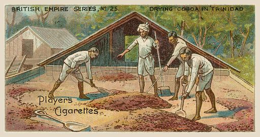 Drying Cocoa in Trinidad. Illustration for one of a series of cigarette cards on the subject of the British Empire published by Player's Cigarettes, early 20th century.