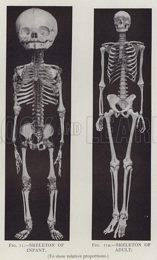 Skeleton of Infant, Skeleton of Adult, to show relative proportions. Illustration for The Teacher's Encyclopaedia edited by AP Laurie (Caxton, 1911).