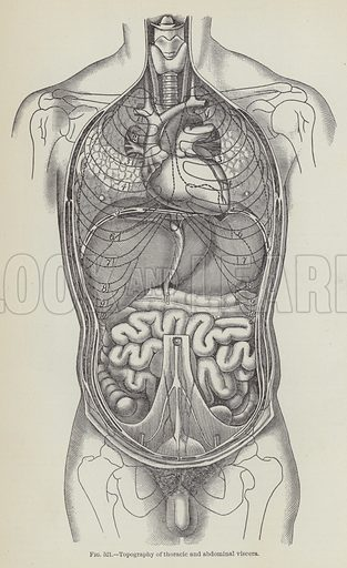 Topography of thoracic and abdominal viscera - Look and Learn ...