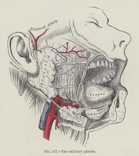The salivary glands. Illustration for Gray's Anatomy, ie Anatomy, Descriptive and Surgical by Henry Gray, with drawings by HV Carter and others (Lea Brothers, 1893).