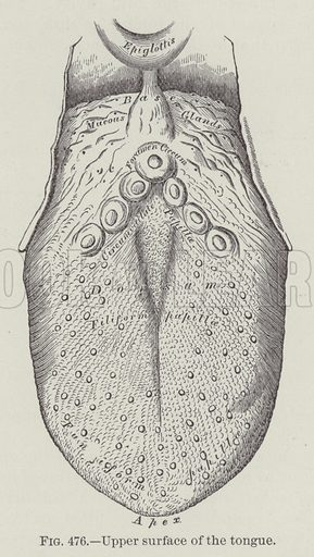 Upper surface of the tongue. Illustration for Gray's Anatomy, ie Anatomy, Descriptive and Surgical by Henry Gray, with drawings by HV Carter and others (Lea Brothers, 1893).