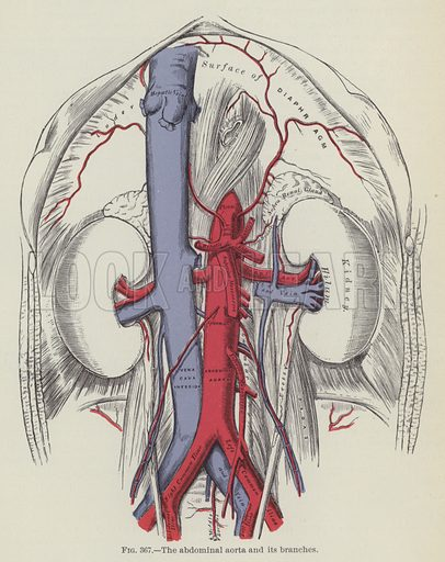 The abdominal aorta and its branches. Illustration for Gray's Anatomy, ie Anatomy, Descriptive and Surgical by Henry Gray, with drawings by HV Carter and others (Lea Brothers, 1893).