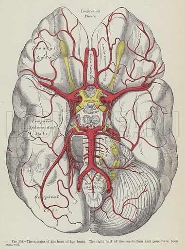The arteries of the base of the brain. The right half of the cerebellum and pons have been removed. Illustration for Gray's Anatomy, ie Anatomy, Descriptive and Surgical by Henry Gray, with drawings by HV Carter and others (Lea Brothers, 1893).