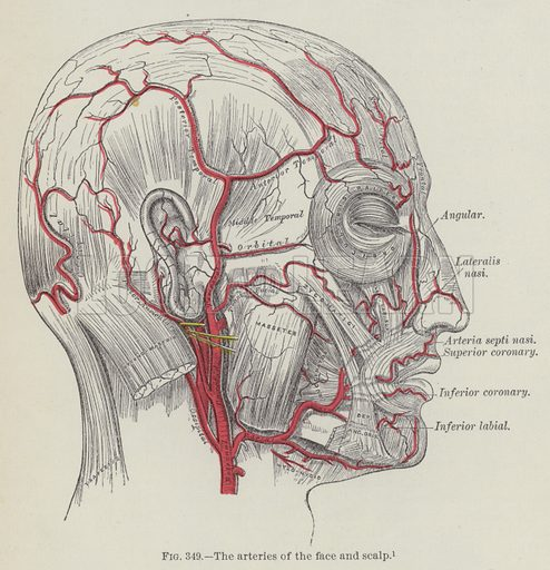 The arteries of the face and scalp. Illustration for Gray's Anatomy, ie Anatomy, Descriptive and Surgical by Henry Gray, with drawings by HV Carter and others (Lea Brothers, 1893).