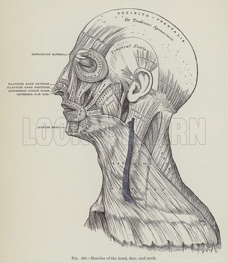 Muscles of the head, face, and neck. Illustration for Gray's Anatomy, ie Anatomy, Descriptive and Surgical by Henry Gray, with drawings by HV Carter and others (Lea Brothers, 1893).