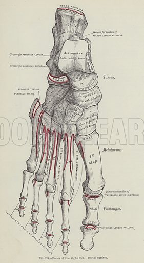 Bones of the right foot, Dorsal surface. Illustration for Gray's Anatomy, ie Anatomy, Descriptive and Surgical by Henry Gray, with drawings by H V Carter and others (Lea Brothers, 1893).