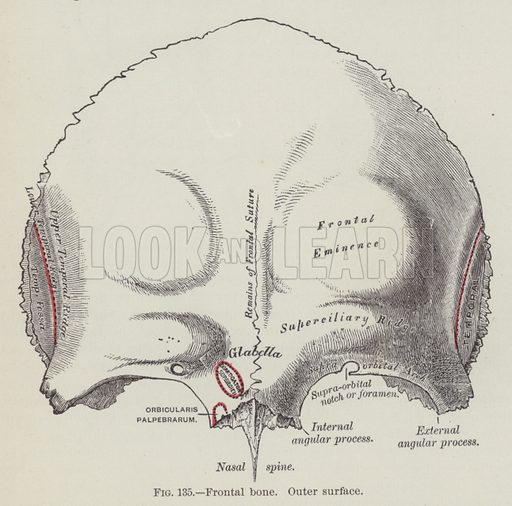 Frontal bone, outer surface. Illustration for Gray's Anatomy, ie Anatomy, Descriptive and Surgical by Henry Gray, with drawings by HV Carter and others (Lea Brothers, 1893).