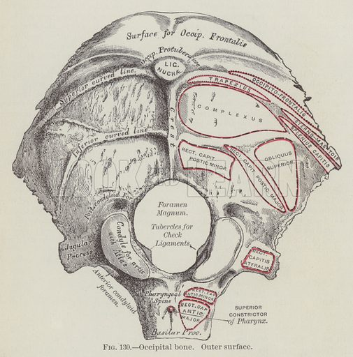 Occipital bone, outer surface. Illustration for Gray's Anatomy, ie Anatomy, Descriptive and Surgical by Henry Gray, with drawings by H V Carter and others (Lea Brothers, 1893).
