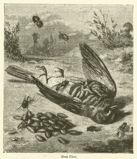 Meat Flies. Illustration for Chatterbox, 1873.