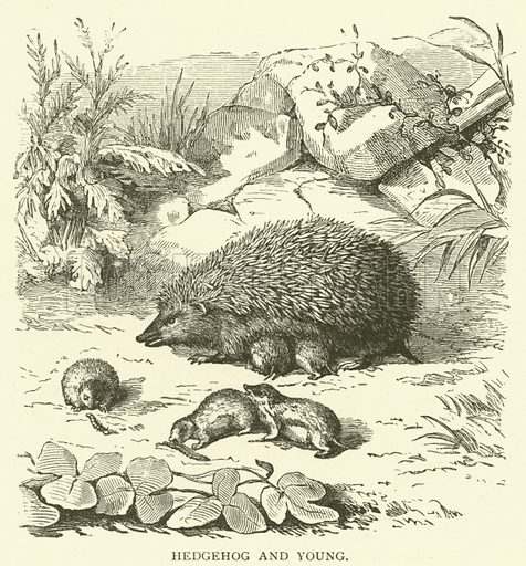 Hedgehog and young. Illustration for Cassell's Pictorial Scrap Book (1889).