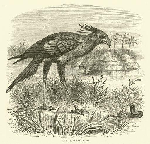 The secretary bird. Illustration for Cassell's Pictorial Scrap Book (1889).