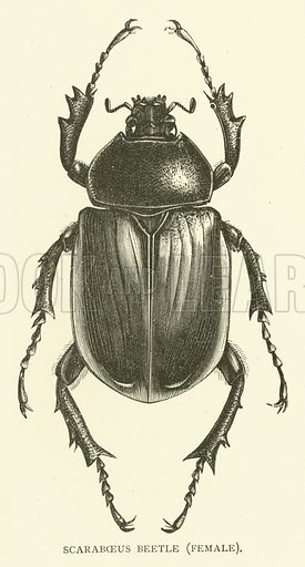 Scaraboeus beetle, female. Illustration for Cassell's Pictorial Scrap Book (1889).