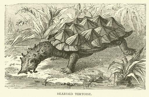 Bearded tortoise. Illustration for Cassell's Pictorial Scrap Book (1889).