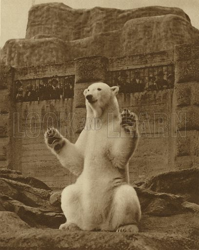 Statuesque pose of the polar bear on the Mappin Terraces at London zoo. Illustration for Wonderful London by St John Adcock (Fleetway, c 1930). Gravure-printed.