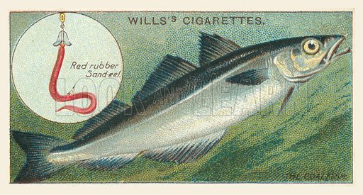 The Coalfish, Red rubber Sand-eel. Illustration for one of a set of cigarette cards on the subject of Fish and Bait, published by Wills's Cigarettes, early 20th century.