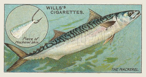 The Mackerel, Piece of Mackerel skin. Illustration for one of a set of cigarette cards on the subject of Fish and Bait, published by Wills