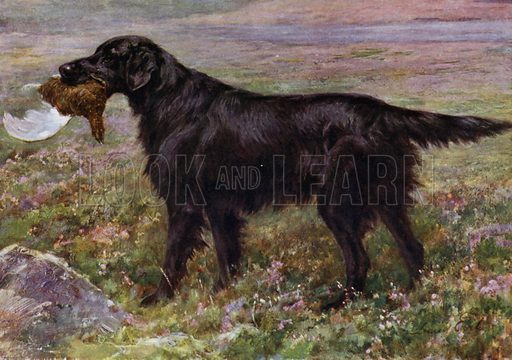 The Flat-Coated Retriever Champion High Legh Blarney by Ch Black Quilt – High Legh Moment. Property of H Reginald Cooke, Esquire, Riverside, Nantwich. Illustration for The New Book of the Dog by Robert Leighton (Cassell, c 1912).