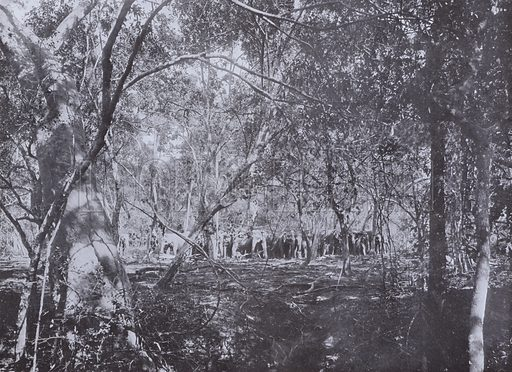 Before the Kraal, a Herd of Wild Elephants in the Jungle. Illustration for The Hundred Best Views of Ceylon (Plate, c 1900).