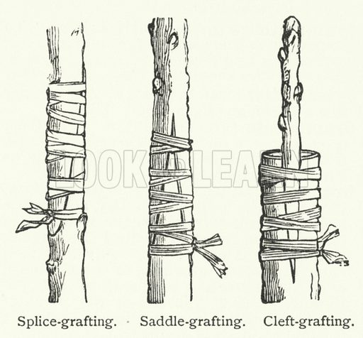 Grafting. Illustration for The Imperial Dictionary by John Ogilvie, new edition edited by Charles Annandale (Blackie, 1898).