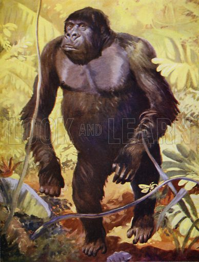 Gorilla in the forests of Gabon, Africa. Illustration for Outline of Modern Belief edited by JWN Sullivan and Walter Grierson (George Newnes, 1935).