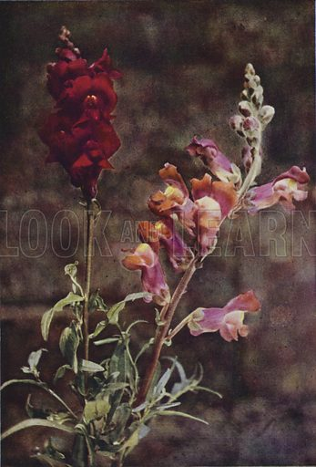 Snapdragon. Illustration for one of the series of Wild Flowers as They Grow (Cassell, 1912-13).  Photographed in Colour Direct from Nature by H Essenhigh Corke, with Descriptive Text by G Clarke Nuttall.