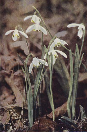 Wild flowers: Snowdrop