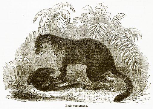 Felis Sumatrana. Illustration from The National Encyclopaedia (William Mackenzie, c 1900).