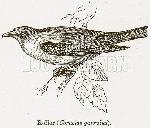 Roller (Coracias Garrulus). Illustration from The National Encyclopaedia (William Mackenzie, c 1900).