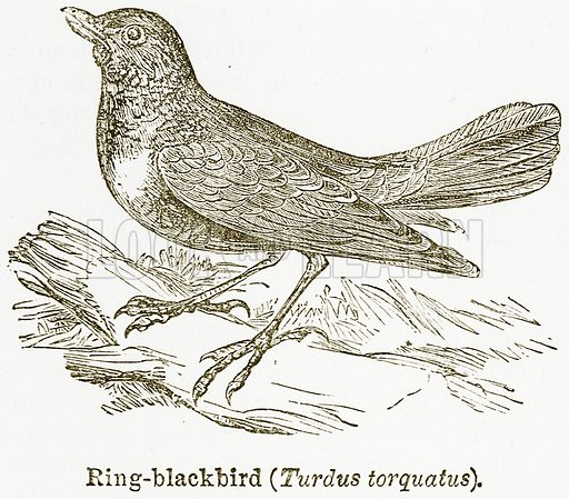 Ring-Blackbird (Turdus Torquatus). Illustration from The National Encyclopaedia (William Mackenzie, c 1900).