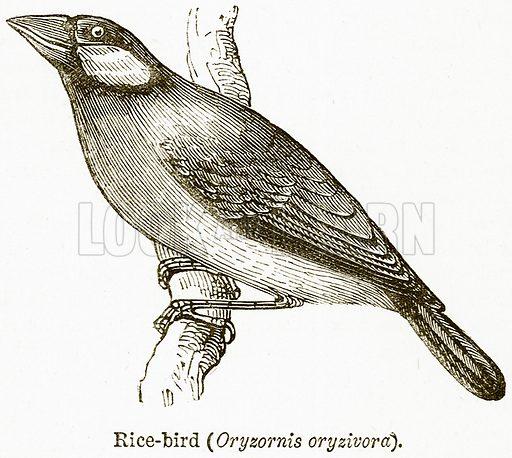 Rice-Bird (Oryzornis Oryzivora). Illustration from The National Encyclopaedia (William Mackenzie, c 1900).