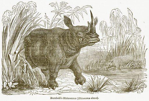 Burchell's Rhinoceros (Rhinoceros Simus). Illustration from The National Encyclopaedia (William Mackenzie, c 1900).