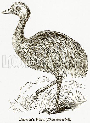 Darwin's Rhea (Rhea Darwini). Illustration from The National Encyclopaedia (William Mackenzie, c 1900).