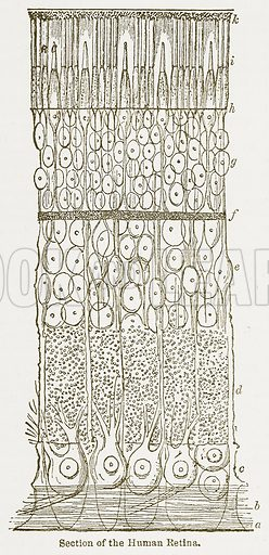 Section of the Human Retina. Illustration from The National Encyclopaedia (William Mackenzie, c 1900).