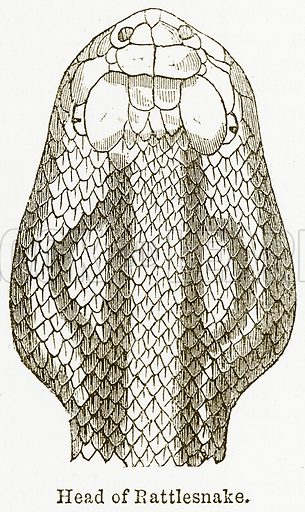 Head of Rattlesnake. Illustration from The National Encyclopaedia (William Mackenzie, c 1900).