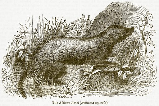 The African Ratel (Melllivora Capensis.) Illustration from The National Encyclopaedia (William Mackenzie, c 1900).